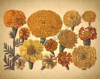 Antique Floral Illustrations for Decoupage, Wall Art Prints, Collages Marigold 035
