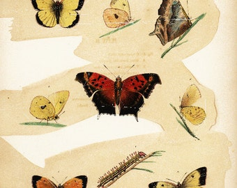 Original Antique Natural History Hand Colored  Butterflies   New York Encyolopedia 1840's