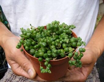 String of Pearls Succulent-Senecio - 4 inch pot