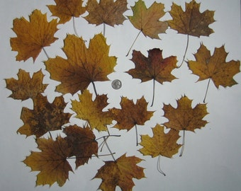 Natural Organic Dried Autumn Leaves, Fall Maple Leaves, Supplies for Arts, Crafts, Home Decor, Various Sizes