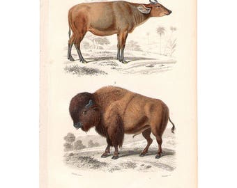 Rare antique French natural history print