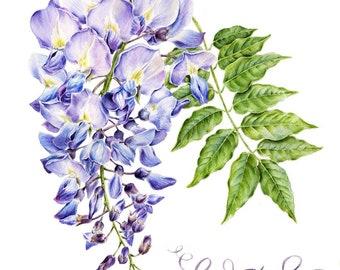 Watercolor botanical illustration: Wisteria. Art print.
