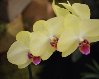 yellow orchid photography, orchid photograph, flower photography, flower photograph, nature photography, fine art, home decor
