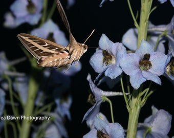 Hummingbird Moth at Night in Colorado 8 x 10 Photograph Wide View
