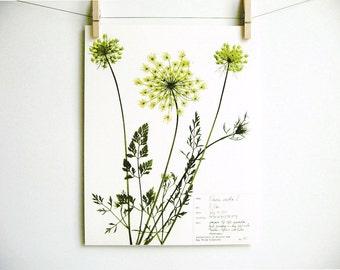 Queen Anne's Lace Print; botanical print pressed flower art kitchen decor farmhouse style print herbarium specimen wildflower art carrot 33