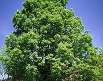 100 Green Ash Tree Seeds, Fraxinus Pennsylvanica