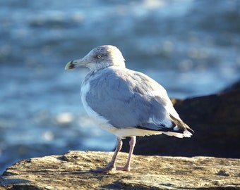 Seagull perched upon a jetty on the south shore beaches of Long Isand, New York.