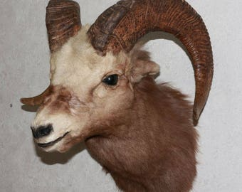 Snow Sheep - Taxidermy Head Shoulder Mount, Stuffed Animal For Sale - Siberian Bighorn Ram - ST3948