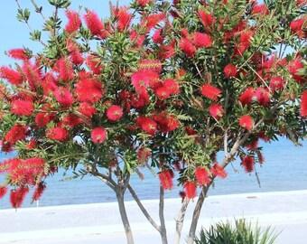 500 Callistemon citrinus Seeds, Crimson Bottlebrush Seeds, Red Bottlebrush,