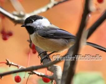 Chickadee Bird Photo | Black Capped Chickadee | Peach Nature Art | Nursery Decor | Winter Songbird Art | Outdoor Wildlife | Chickadee Print