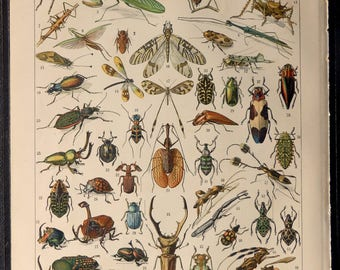 Antique print.1900 Entomology.Insects,beetles.Entomology print.115 years old print.Antique book plate.12,10x9  inches or 31x23cm.