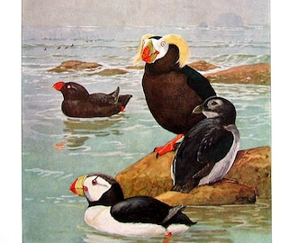 Bird Print - Puffins - Tufted Puffin, Horned Puffin - 1932 Book Page from Vintage Bird Book -10 x 7