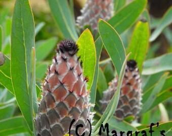 Fine art protea flower photography print, 8x10 photo size, Mink Protea in Maui Hawaii
