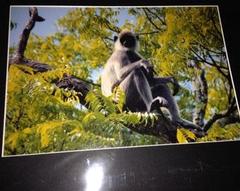 "Languring around - Mounted Wildlife Photo Print (20"" x 16"")"
