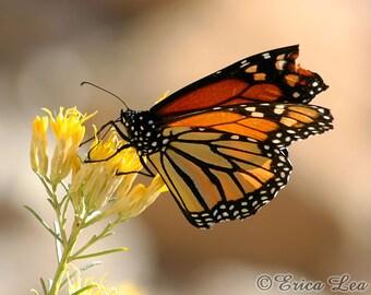 Monarch Butterfly Art, nature photography, southwest wall art, rust brown, black, yellow home decor, butterfly photo, fine art print