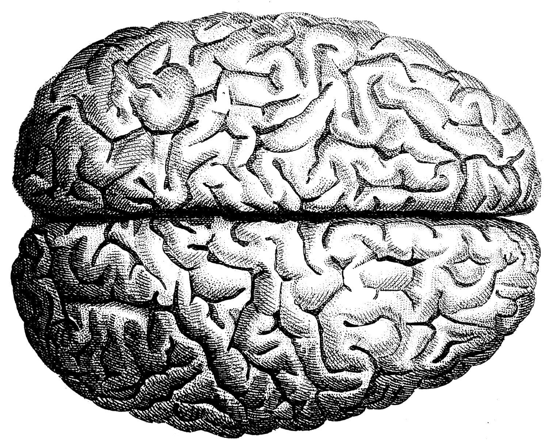 The human brain Human Anatomy the human skull Old medical