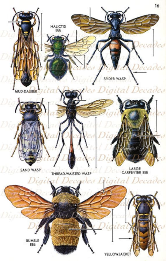 Bees and Other Flying Insects Vintage Art Illustration - photo#6