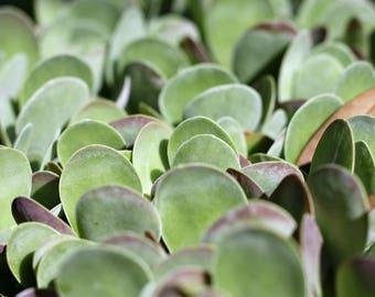 Kalanchoe thyrsiflora - Flapjacks LIVE PLANT succulent easy to grow