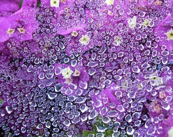 "Robin Weindruch Photo, ""La Madrugada"", early morning dew on flowers"