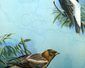 Vintage BIRDS Print - Bobolinks - Early Spring and Summer 1930s Book Illustration by Walter Alois Weber