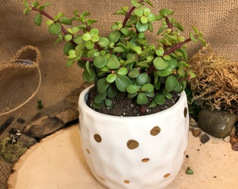 Small white pot with gold polk-a-dots