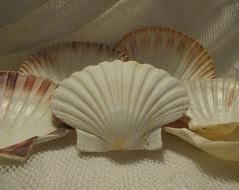 6 seashells of varying size, around 5 1/2 by 5 inches