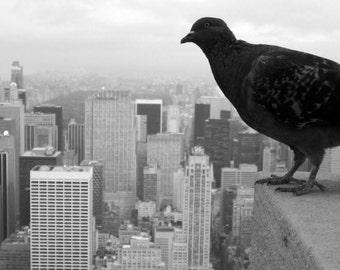 Pigeon of New York