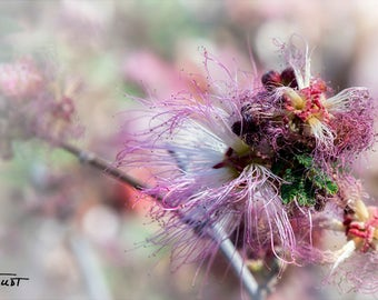 Pink Fairy Duster, Dreamy Desert Flower, Modern Retro, Spring Orchard, Fine Art Photo, Calliandra eriophylla, Nevada Nature Photo, Close Up