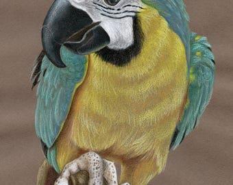 Parrot Original Drawing