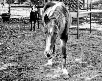 Black & White Horse Photo, Horse Art, Horse Decor, Horse Print, Horse Wall Art, Goat Photo, Country Decor, Farm, Rustic Decor, Farm Friends