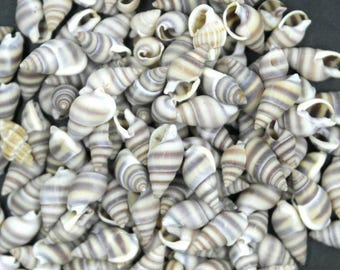 Chinese Nassa Seashells  (Bag of 100)  (EA)