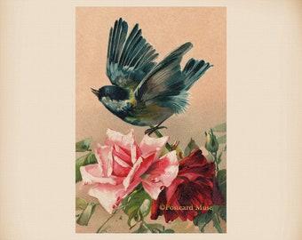 Klein Bird With Roses New 4x6 Vintage Image Photo Print FN21