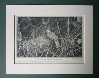 1920s Vintage Print Of A Yellowhammer - Countryside - Nest - Ornithology - Nature - Natural History - Old Woodland Photograph - Bird Print