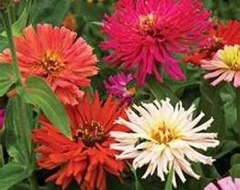 Zinnia- Cactus Flowered  Mix- 100 Seeds