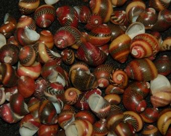 "Set Of 20 Candy Nerite Seashells (Neritina Commulis) 1/2"" To 5/8""--Hermit Crabs, Display, Weddings, Crafting"