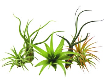 5 Pack Assorted Air Plant Tillandsia's / Wholesale Air Plants