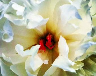 Peony flower close up square color photo print