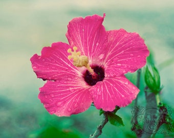 Pink Hibiscus Flower - Fine Art Photograph Print Picture