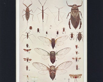 1903 Antique Bugs, Leaf-hoppers and Cicades Insect Creepy Crawly Print