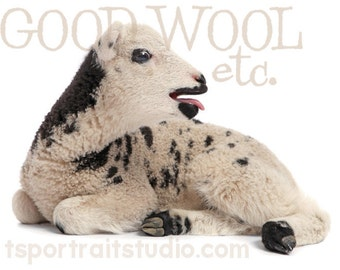baby jacob sheep greeting card - set of 10