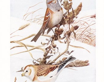 1917 Bird Print - Plate 80 - Tree Sparrow Snow Bunting - Vintage Antique Art Illustration by Louis Agassiz Fuertes 100 Years Old