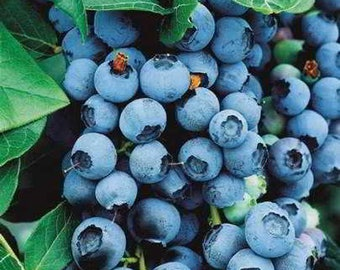 Organic Bluecrop Blueberry Seeds - 35 Seeds - Produces extra-large berries!  fresh flavor!