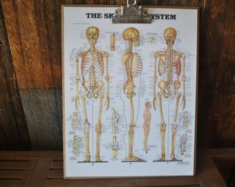 Clip Board Wall Hanging / Skeletal System Anatomical Chart