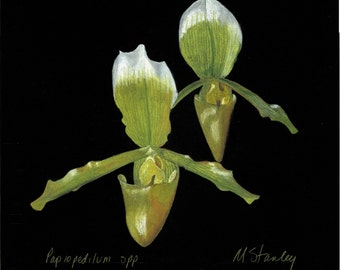 Print of an original drawing of a Paphiopedilum yellow orchid