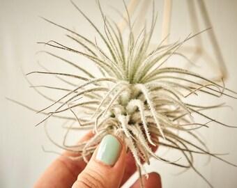 Luftpflanze Tillandsia Tectorum Snow   Exostiche Schöne Pflanze   Dekoidee Gechenkidee Pflanze Lose