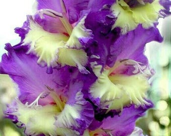Gladiolus Bulbs, (not seeds) Perennial Flower 5 Bulbs (item No: 22)
