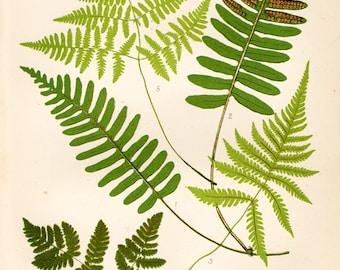 Antique Fern Print 1908 Heath Botanical Chromolithograph Common Polypody etc.