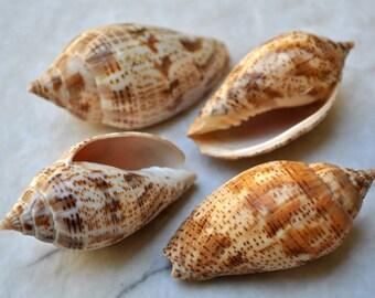 "Brown Lined Volute Shells (4 pcs.) - (2-3"") - Harpulina Lapponica"