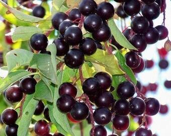 TreesAgain Chokecherry Tree - Prunus virginiana - 4 to 8+ inches (See State Restrictions)
