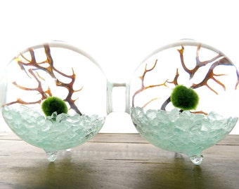 Marimo Terrarium Kit: 2-Attached Glass Globe Vase, 23 Colors, Japanese Marimo Moss Balls, Gift Wrap, Card, Fast Shipping